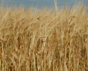 golden field of barley