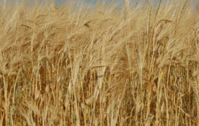 golden field of barley