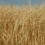 Decisive Farming Offers Farmers $4 Per Acre For Malt Barley Data