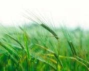 barley - Credit Grainews