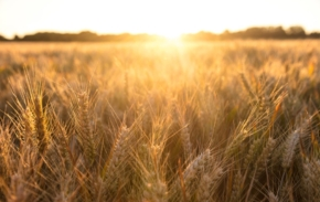 golden-field-of-barley-crops-growing-on-farm-at-sunset-or-sunrise-picture-id680701908